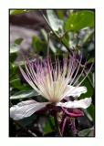 Lesbos - flora - DSCN6044.jpg