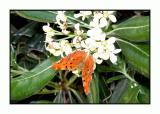 Lesbos - vlinder - DSCN6318.jpg