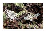 Lesbos - vlinders - DSCN6374.jpg