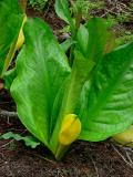Skunk Cabbage, near Clearwater