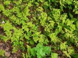 Young ferns.JPG