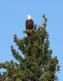 Eagle, Chaunigan Lake