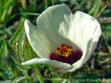 Flower-of-an-hour