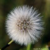 Spiny or Prickly Sow-thistle