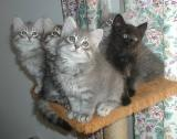 F kittens posing at 8,5 weeks