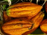 Cacao seed pods (Theobroma cacao)