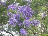 Jacaranda, (Jacaranda acutifolia)
