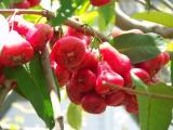 Wax Jambu (Syzygium samarangense)