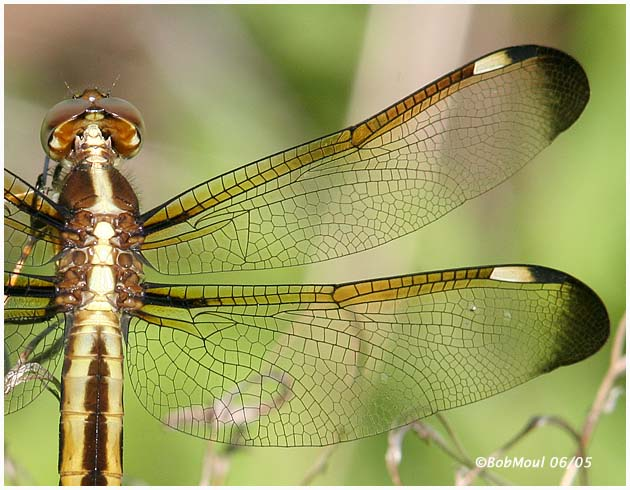 Spangled Skimmer-Female
