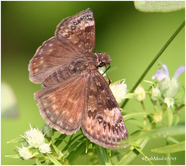 Wild Indigo Duskywing-Female