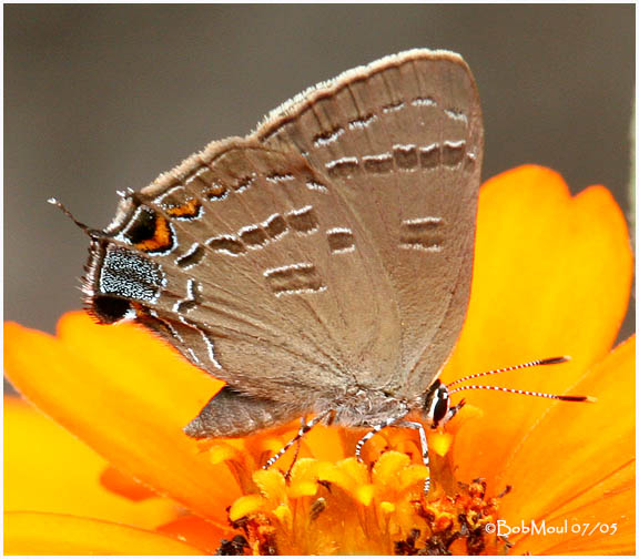 Banded Hairstreak-Female (White Oak)