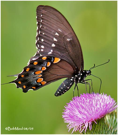<h5><big>Spicebush Swallowtail<br></big><em>Pterourus troilus</h5></em>