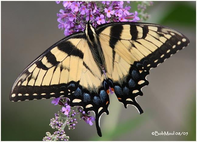 <h5><big>Eastern Tiger Swallowtail-Female<br></big><em>Papilio glaucus</h5></em><BR>