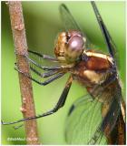 Widow Skimmer Female Thorax
