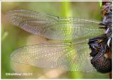 Black Saddlebags-Teneral