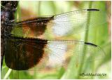 DRAGONFLY WING PATTERNS