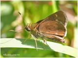 Little Glassy Wing-Female