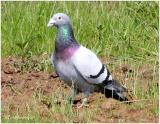 Rock Pigeon (Feral Pigeon) Natural Adult