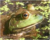 Bull frog-Male