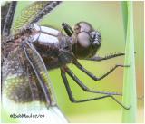 Widow Skimmer Male Thorax
