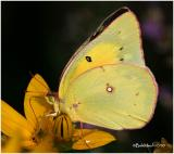 Orange Sulphur Female