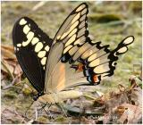 Giant SwallowtailPapilio cresphontes