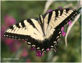 Eastern Tiger Swallowtail-MalePapilio glaucus