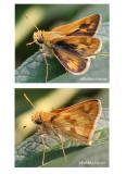 Peck's Skipper-Male