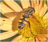 Flower Fly-Female