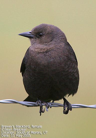 Brewers Blackbird, female