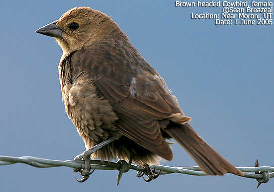 Brown-headed Cowbird, female
