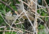 Western Kingbird, with fledgling