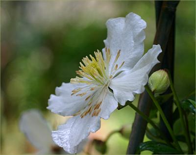 Clematis montana sericea - syn. C. spooneri