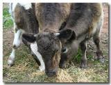 Three steers