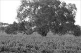 Tree amongst the vines near Bleasedale winery