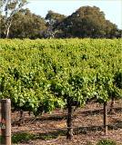 Vines near Bleasedale winery