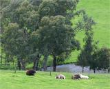 Cattle at rest in spring