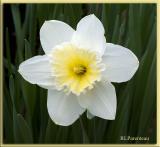 Daffodil2005.jpg