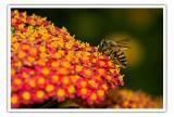 MC1 Honey Bees1st placeDevendra