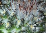MC8 Prickly Veg1st placePincushion by tucsondave