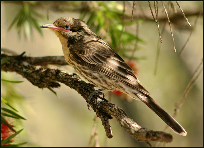Spiny Cheeked Honeyeater 3.jpg