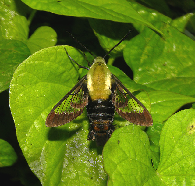 Snowberry Clearwing Moth Male (7855)