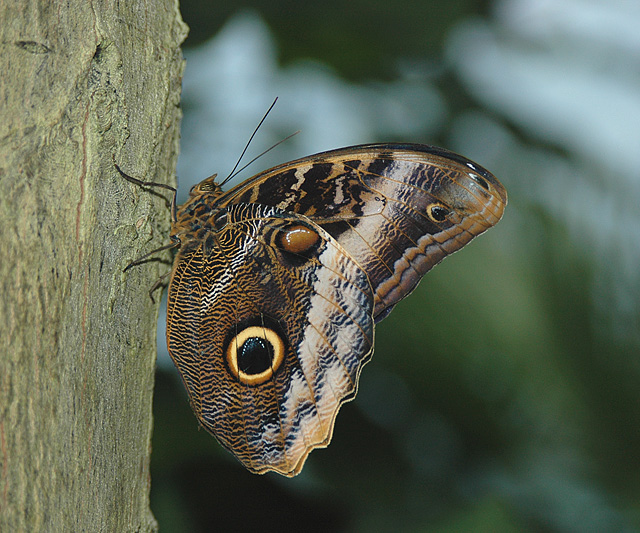 Yellow-edged Giant Owl Butterfly