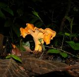 Golden Chanterelle Fungus