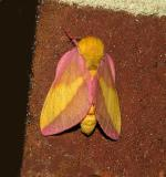 Rosy Maple Moth (7715)