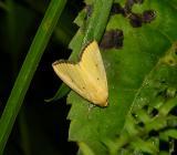 Black-bordered Lemon Moth (9044)