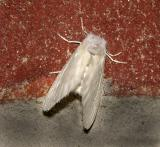 White Flannel Moth (4650)
