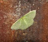 Southern Emerald Moth (7059)
