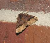 Hubner's Pero Moth (6754)