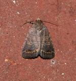 The Slowpoke Moth (9650)